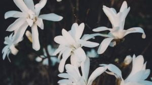Magnolia Love Poem by Alexandra Vasiliu, Author of BLOOMING